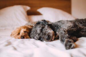 hund sover